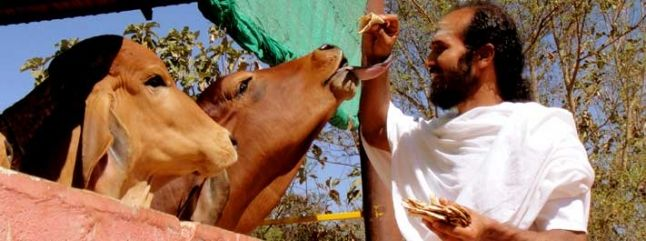 The Art Of Living Goshala Preserving Indigenous Cows The Art Of Living Gl